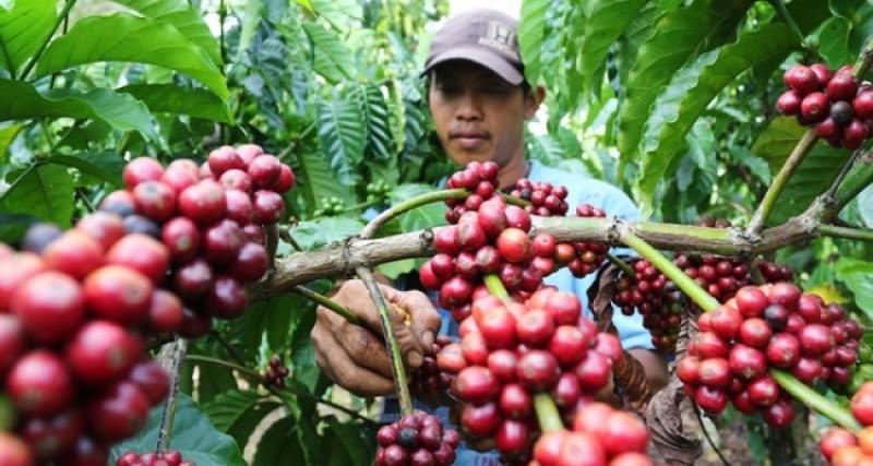 1.000 Hektare Tanaman Kopi di Tanggamus Bakal Direvitalisasi