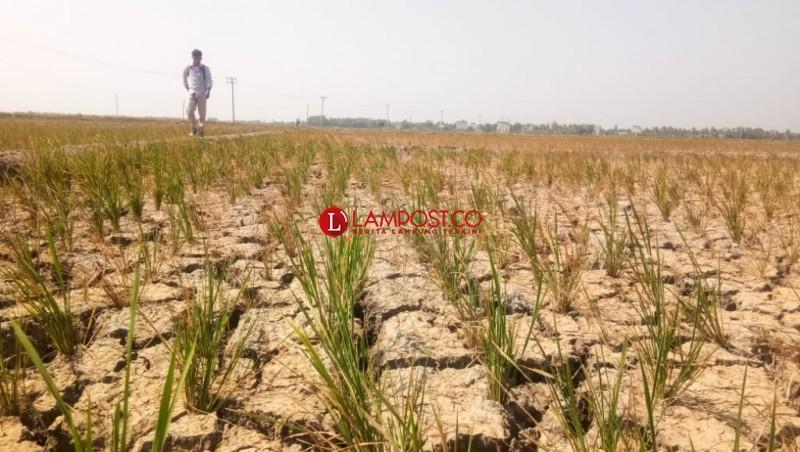 1.300 Hektare Lahan di Lampung Selatan Gagal Panen