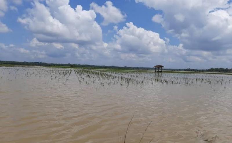 1.643 Hektare Sawah di Kudus Terendam