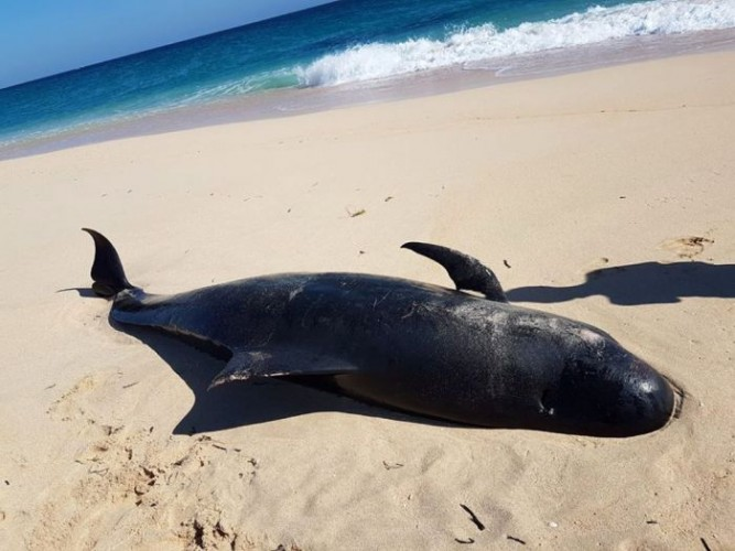 11 Ekor Paus Pilot Terdampar di Pantai Sabu Raijua
