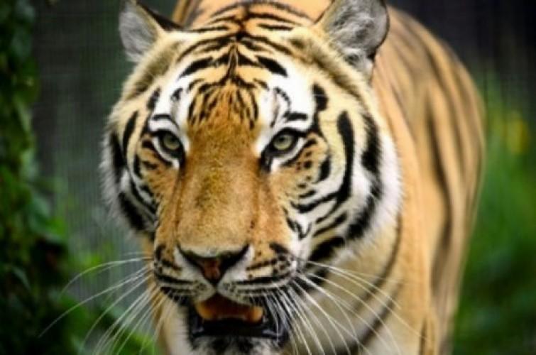 2 Harimau Sumatra di Ragunan Pulih dari Covid-19