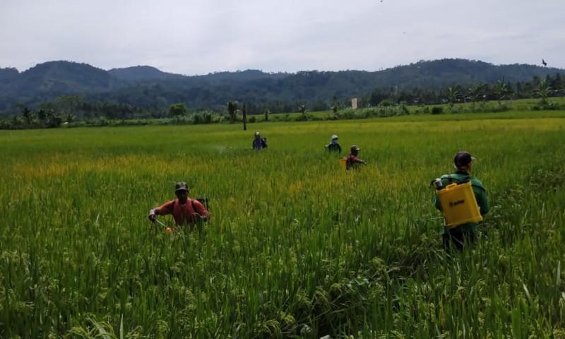 200 Hektare Padi di Suoh Diserang Wereng