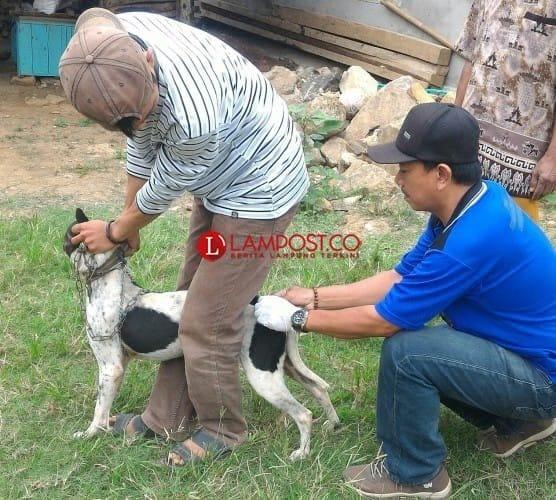 600 Hewan Telah Tervaksinasi Rabies