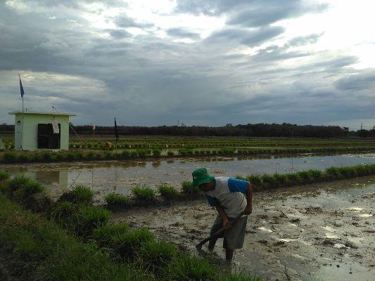 Ubah Kebiasaan Petani Pringsewu yang Masih Menunggu 'Mongso'
