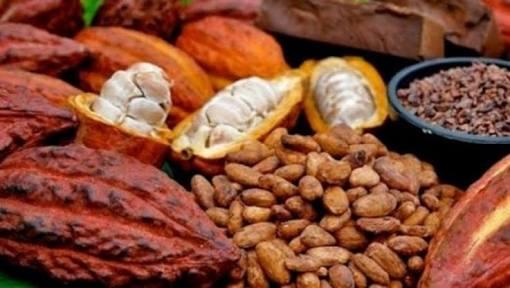 Harga Kakao di Lampura Naik Rp1.000/Kg