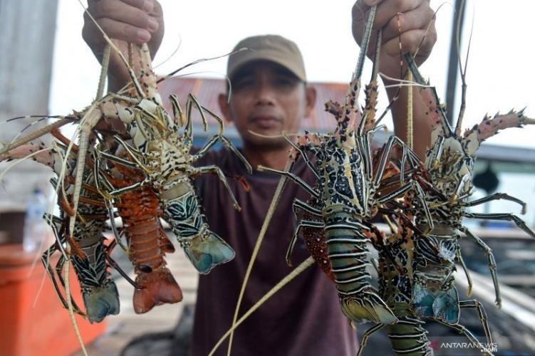 ALSL Komit Perkuat Ekosistem Lobster di Lampung