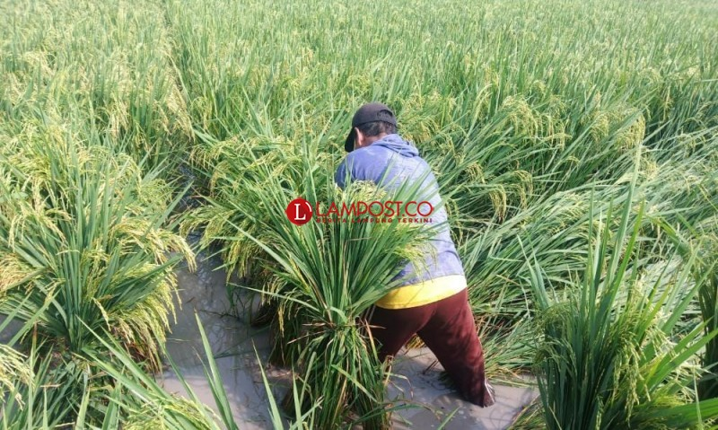 Angin Kencang Robohkan 15 Hektare Tanaman Padi di Palas