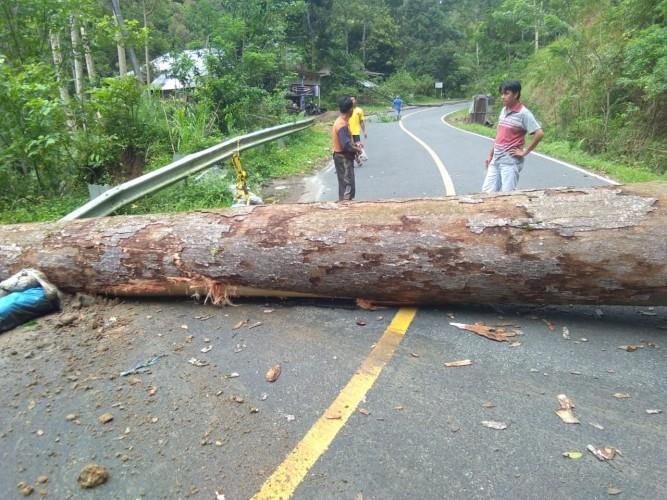 Arus Lalu Lintas Liwa-Krui Tersendat akibat Pohon Tumbang