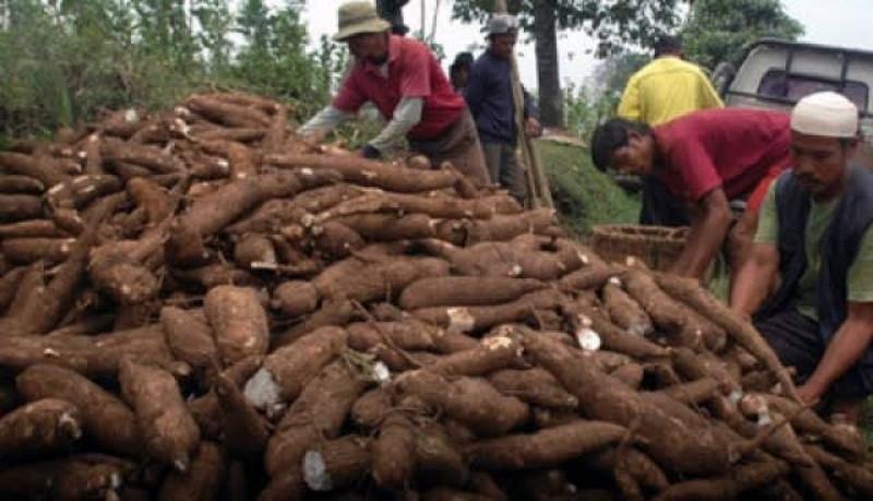 Asosiasi Petani Singkong Lampura Minta Pemerintah Tekan Rendemen 10-15 Persen