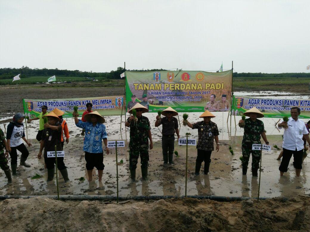 Petani di Negarabatin Tanam Perdana Padi di Cetak Sawah Baru