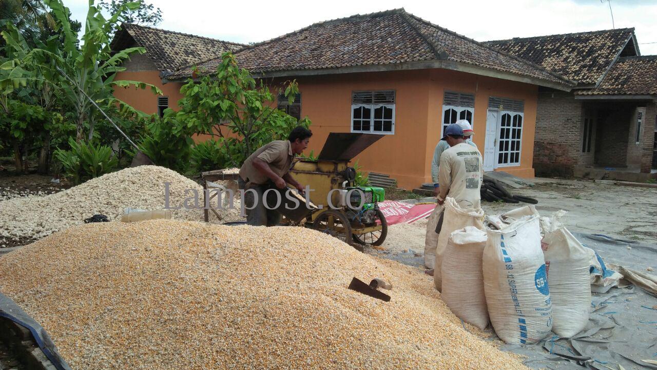 Jelang Panen, Harga Jagung Anjlok di Lamsel