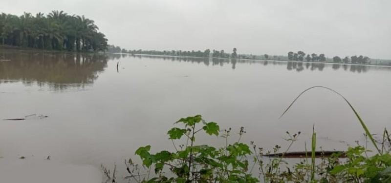 Banjir Rendam Puluhan Hektare Sawah di Waysulan