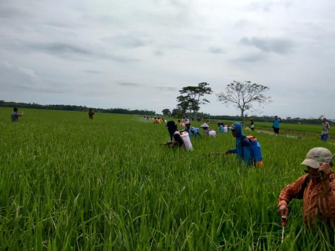 Bantu Kendalikan Hama, RPH Bantu Petani Terjun ke Sawah
