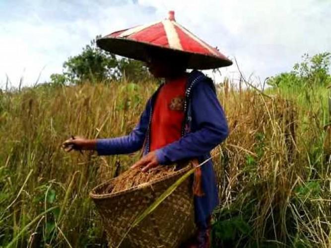 Behuma, Cara Berkebun Orang Lampung (2)