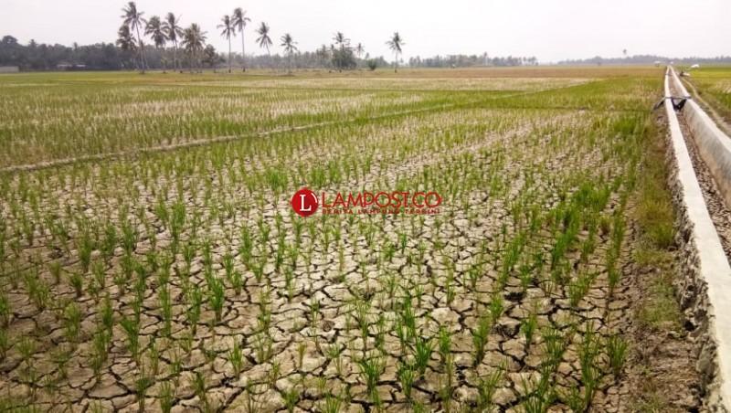 Belasan Hektare Sawah di Palas Gagal Panen