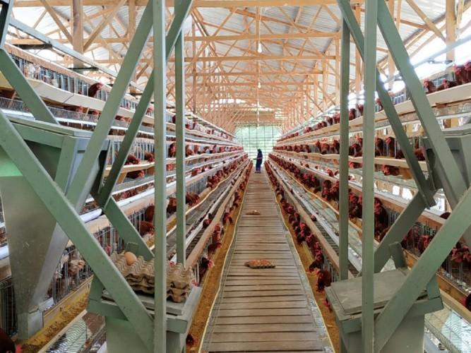 Biosekuriti Tiga Zona, Cara Layer Lampung Wujudkan Telur Sehat