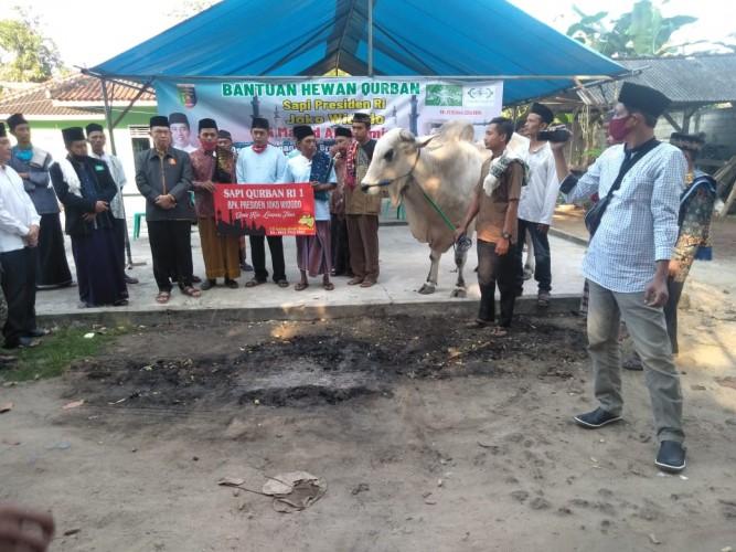 Bobot Sapi dari Jokowi untuk Warga Lamtim Hampir 1 Ton