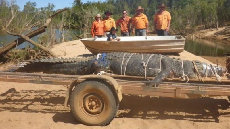 Buaya 'Monster' Seberat 500 Kilogram Berhasil Ditangkap di Australia