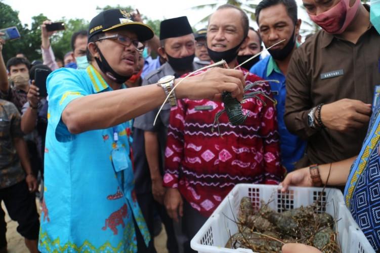 Bupati Pesisir Barat Lepasliarkan Lobster Hasil Budidaya