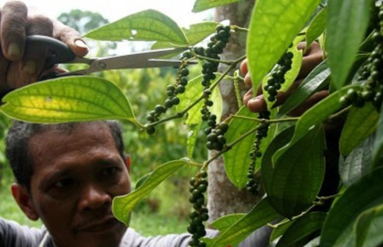 Butuh Peran Pemerintah Kembalikan Kejayaan Lada Lampung