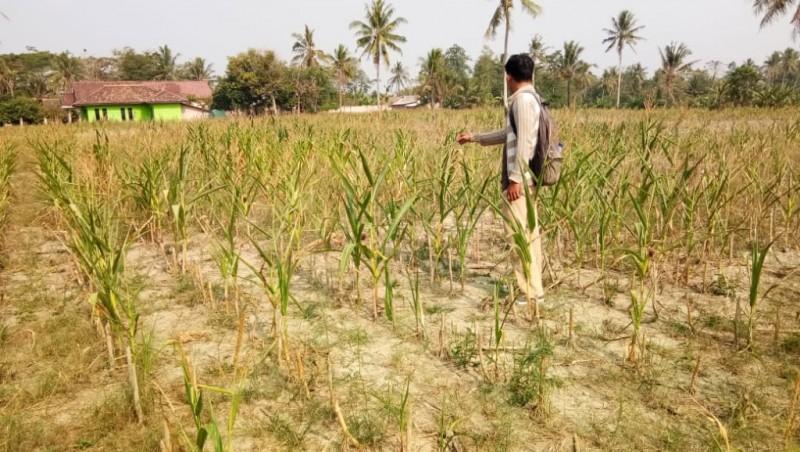 Dilanda Kekeringan, Puso Pupuskan Harapan Petani Jagung di Bumidaya