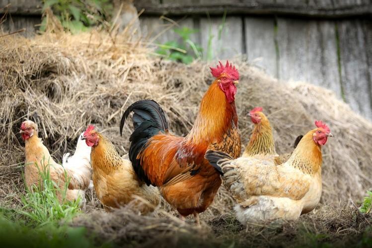 DPRD Tubaba Menolak Program Bantuan Ayam