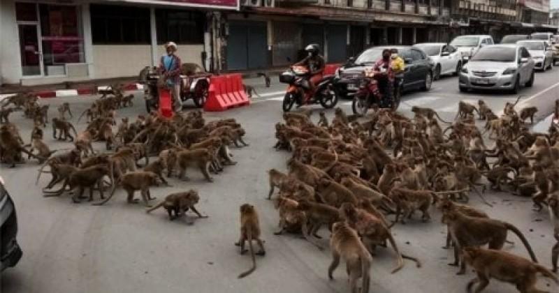 Dua Geng Monyet Bentrok di Tengah Jalan Thailand