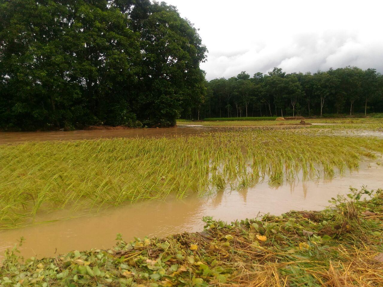 Puluhan Hektare Tanaman Padi dan Kolam Ikan di Way TubaTerendam Banjir