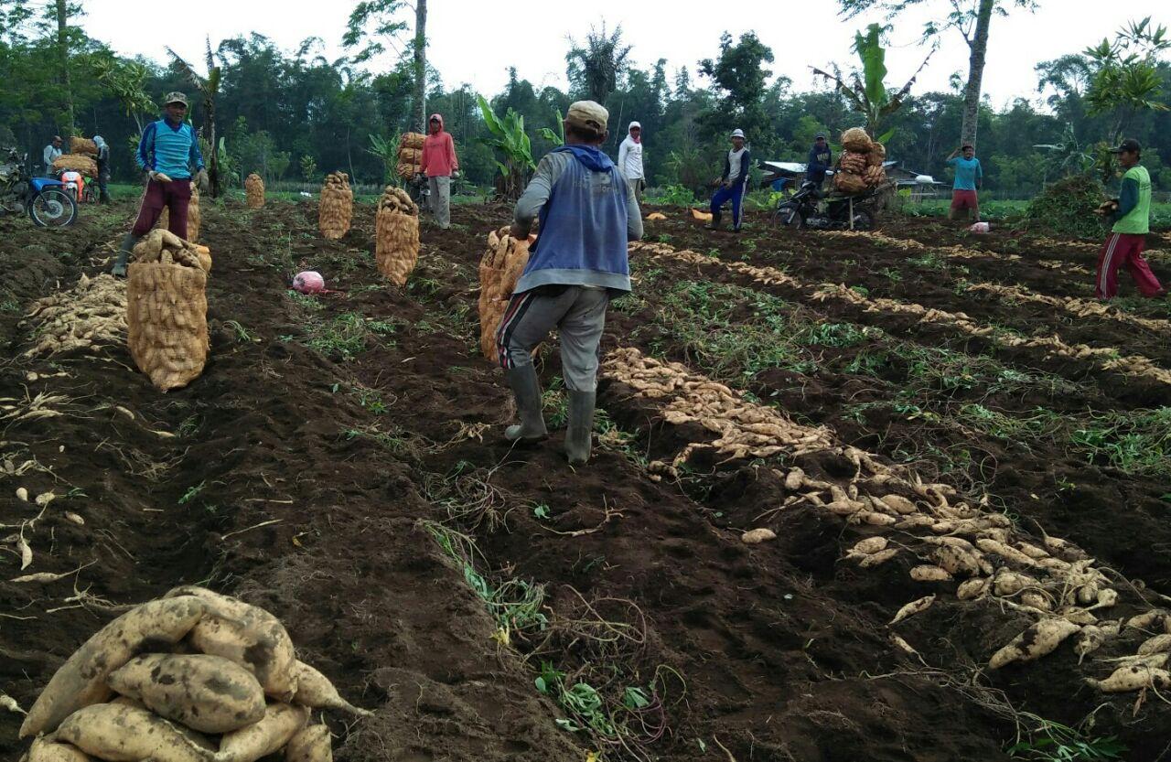 Jelang Ramadan Harga Sayur Mayur di Tingkat Petani Anjlok