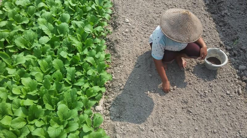 (Foto) Hadapi Kemarau, Petani Menanam Sayur di Sawah Tadah Hujan