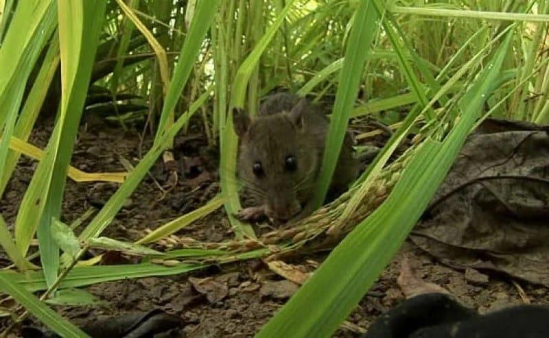 Hama Tikus Mulai Serang Tanaman Padi di Palas