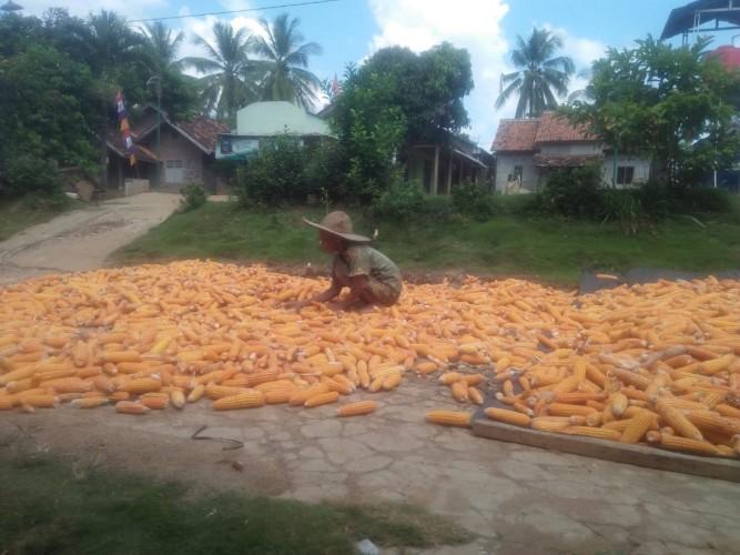 Harapan Petani Jagung Saat Harga Tak Kunjung Membaik