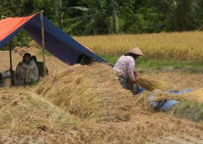 Harga Anjlok, Bulog Serap Gabah Petani di Lamsel