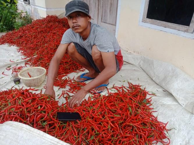 Harga Cabai Merah di Lamsel Anjlok