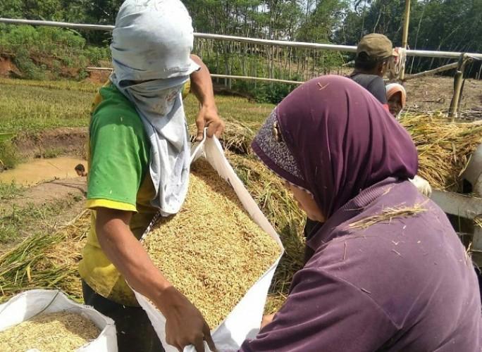 Harga Gabah di Tingkat Petani Turun 10,5 Persen