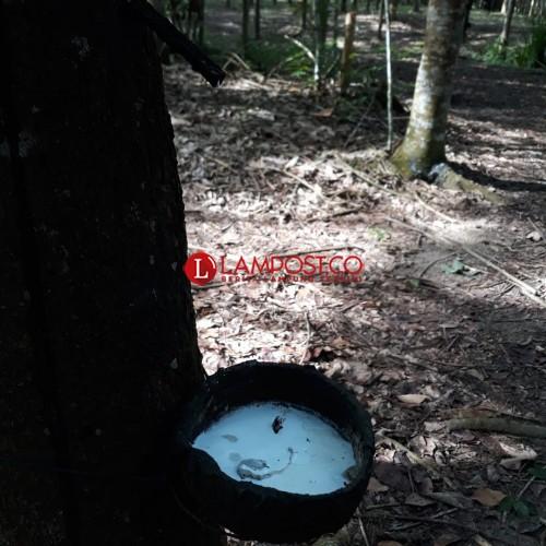 Harga Getah Karet Turun, Jadi Rp5.300 di Tulangbawang