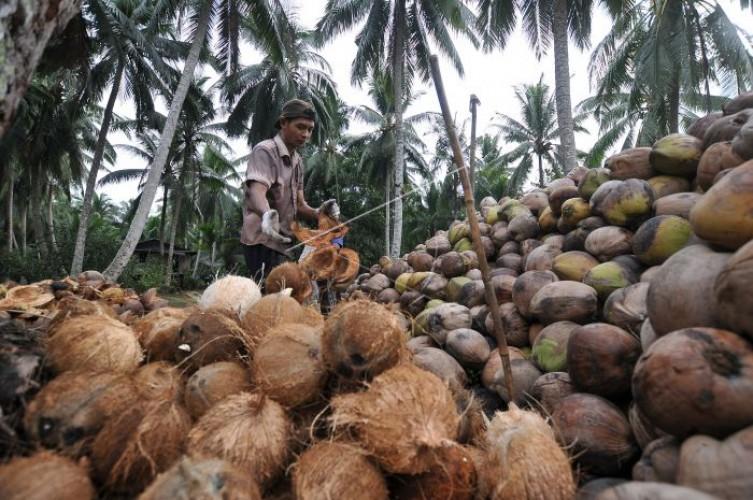 Harga Kelapa Tingkat Petani di Pesisir Barat Naik Jadi Rp2.800 Per Butir