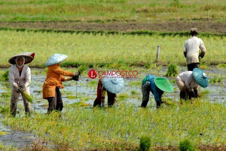 Harga Komoditas Dongkrak NTP Lampung