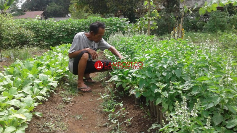 Harga Sayuran di Lampung Utara Rontok