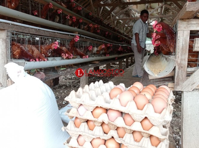 Peternak Ayam Petelur di Natar Terancam Gulung Tikar