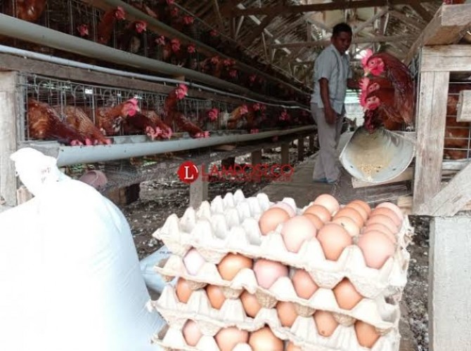 Harga Telur di Lamsel Mulai Naik