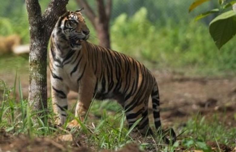 Harimau Serang Pengunjung Taman Wisata Gunung Dempo