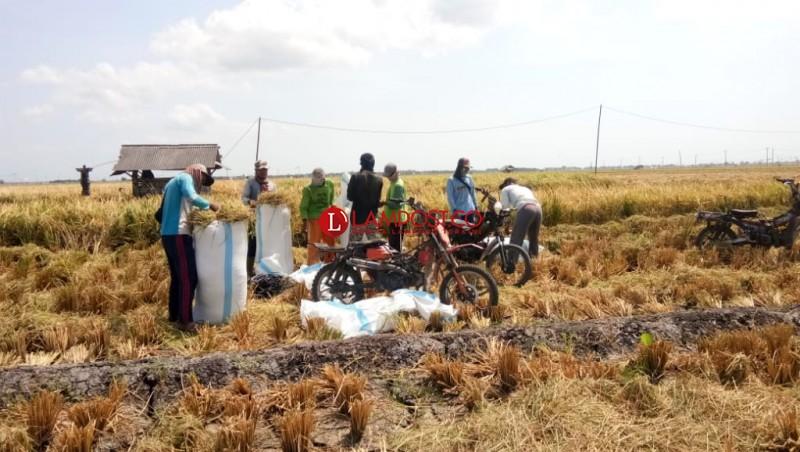 Hasil Panen Padi Petani Merosot 50% di Musim Kemarau