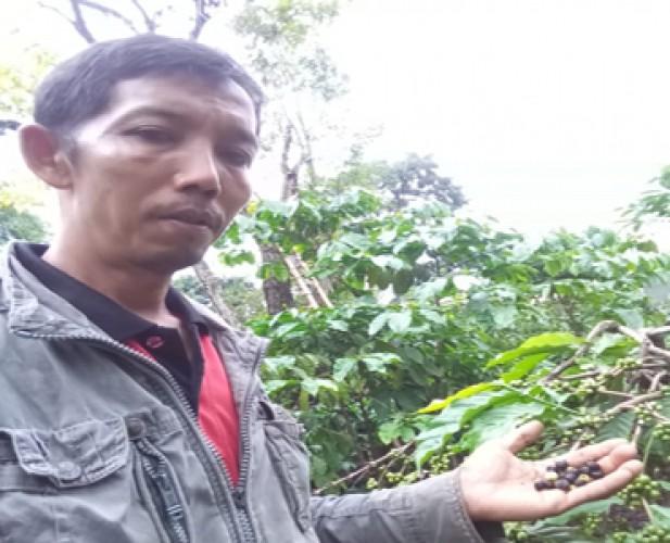 <i>Kegalauan Petani Kopi Lampura Hadapi Hama Kutu Penggerek Buah</i>