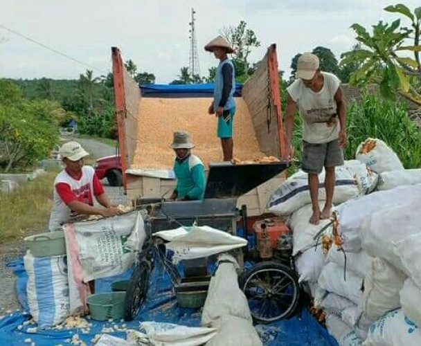 Jelang Panen Raya, Harga Jagung di Lamsel Anjlok