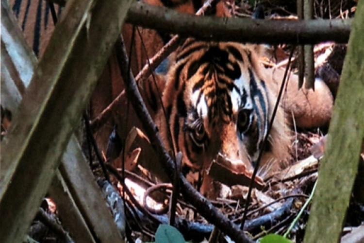 Jerat Satwa MengancamHarimau Sumatra