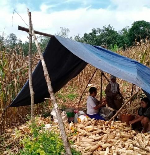 <i>Jeritan Hati Petani Jagung Lampuradi Tengah Wabah Korona</i>