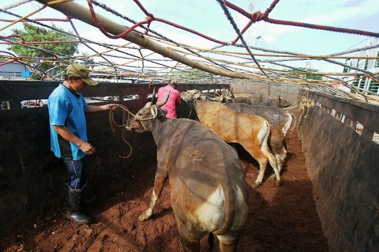 Kabupaten Tubaba Targetkan 500 Ekor Ternak Ikut Asuransi
