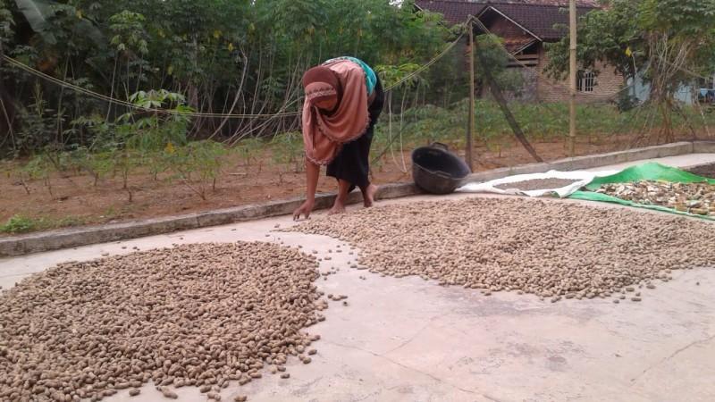 Kacang Tanah Jadi Tanaman Selingan Yang Menjanjikan