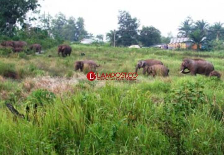 Kawanan Gajah Dekati Perbatasan, Warga Suoh Diminta Mengungsi